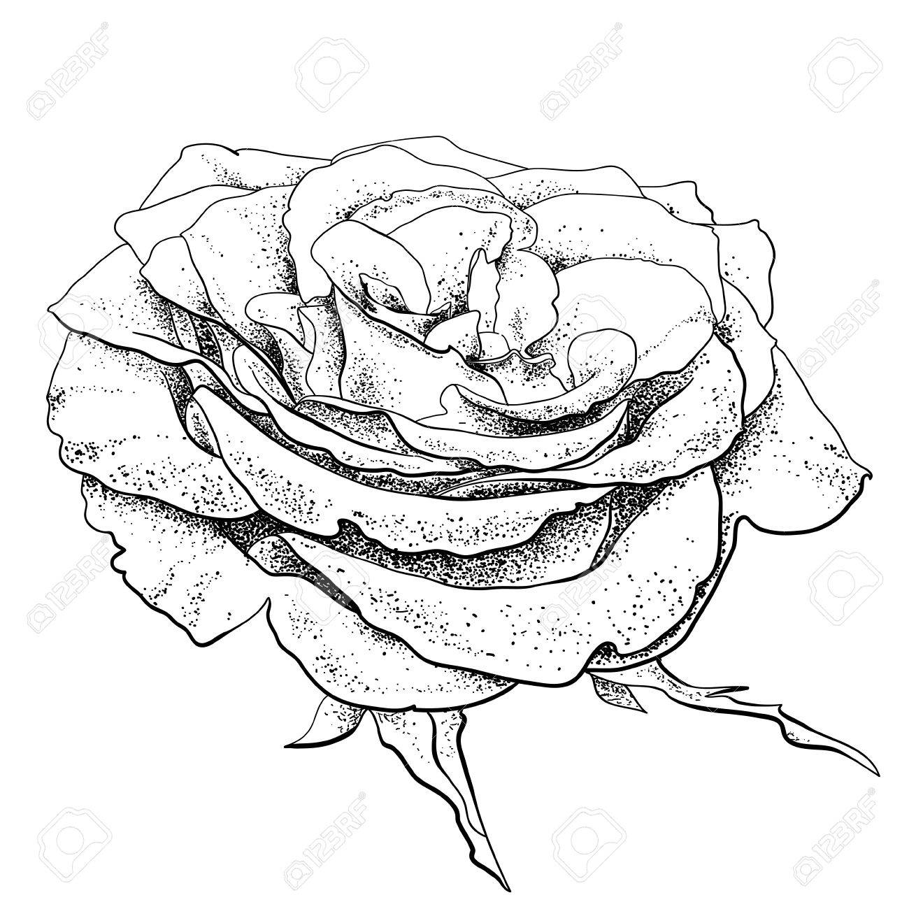 highly detailed hand drawn rose Stock Vector - 13625519