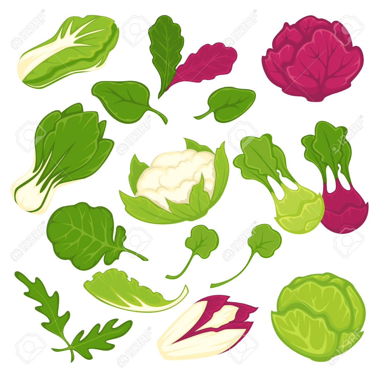 Lettuce salads leafy vegetables vector isolated icons set - 73142021