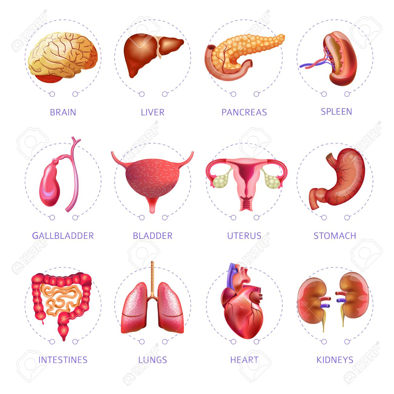 Human Body Internal Organs Icons Set Royalty Free Cliparts Vectors