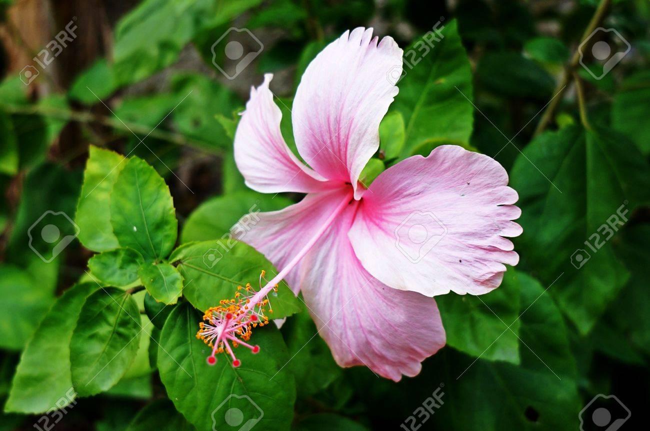 The national flower of malaysia stock photo picture and royalty stock photo the national flower of malaysia izmirmasajfo