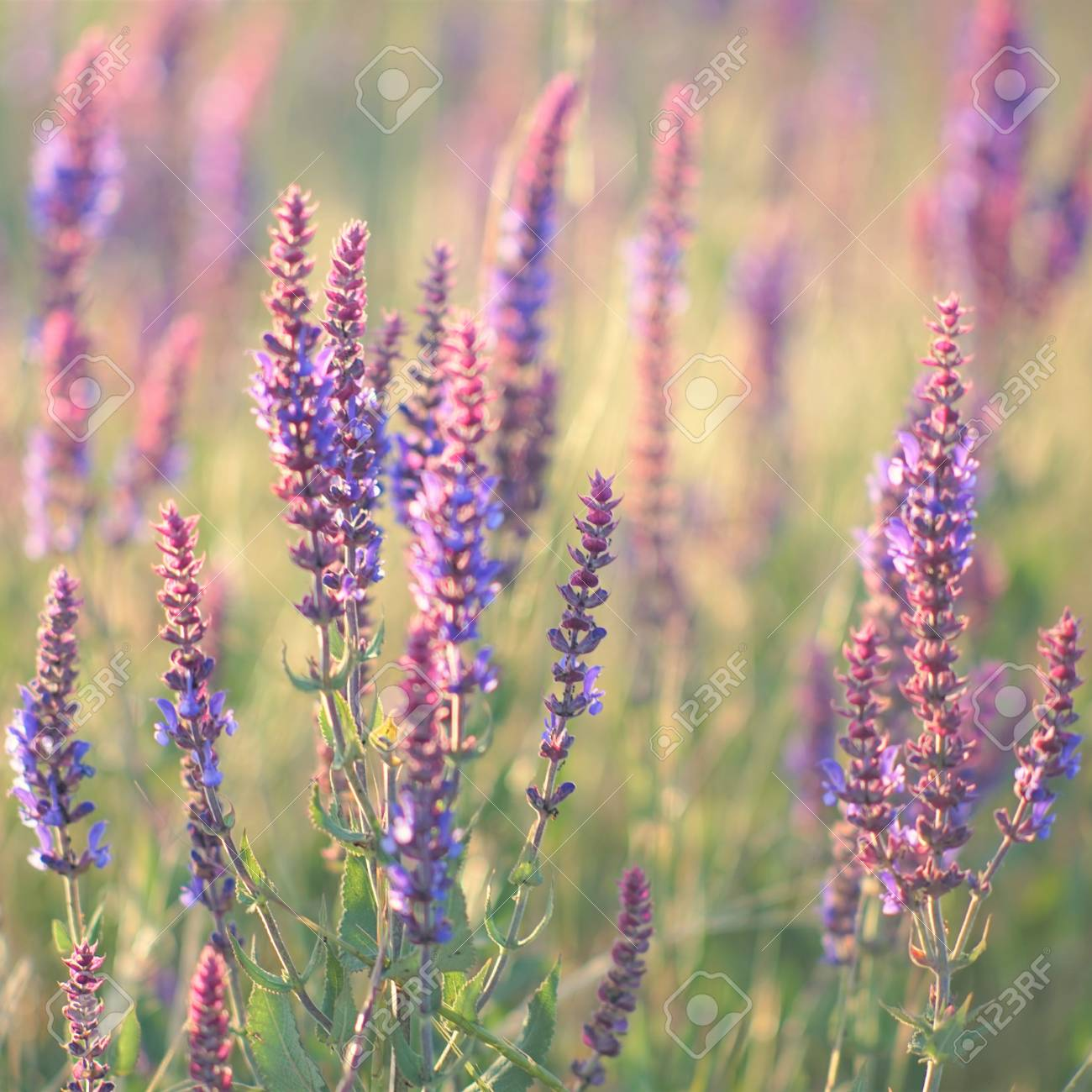 Lavender At Sunset Field Of Purple Flowers Stock Photo Picture And Royalty Free Image Image 111466384