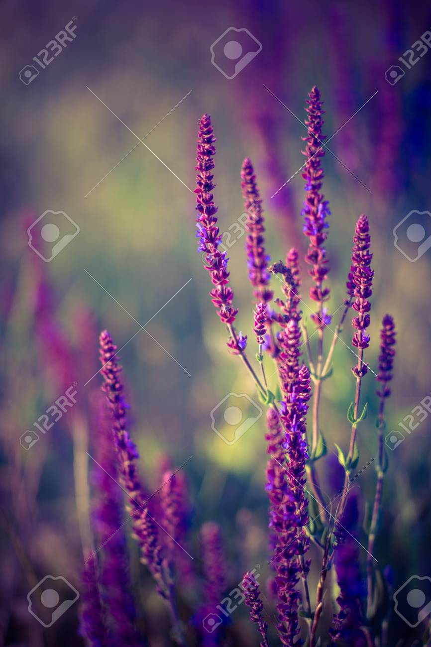 Lavender At Sunset Field Of Purple Flowers Stock Photo Picture And Royalty Free Image Image 118817849
