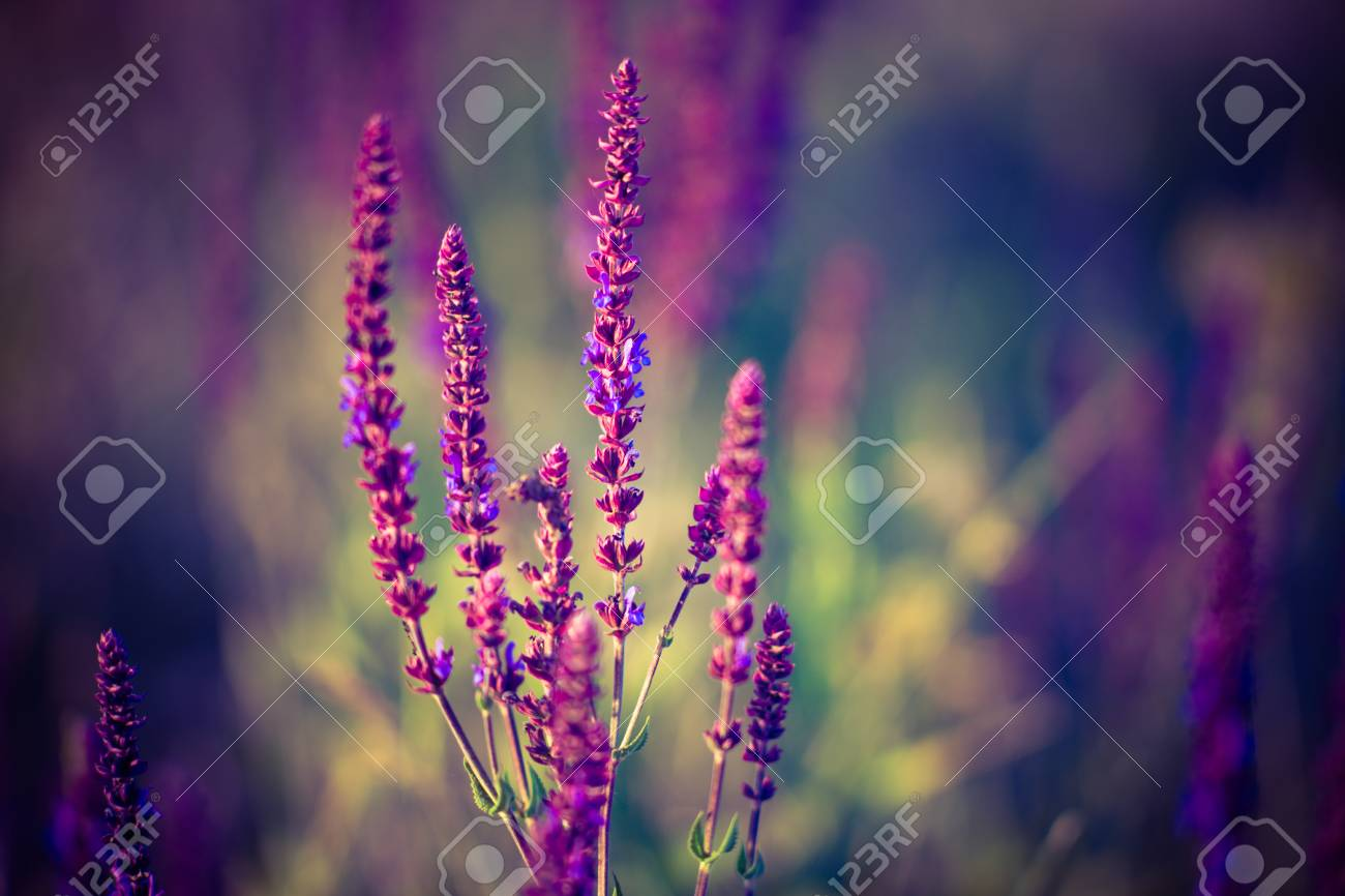 Lavender At Sunset Field Of Purple Flowers Stock Photo Picture And Royalty Free Image Image 118817733
