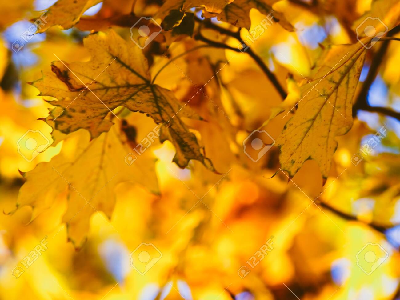 Golden maple leaves on a autumn tree in sunny park - 131488108