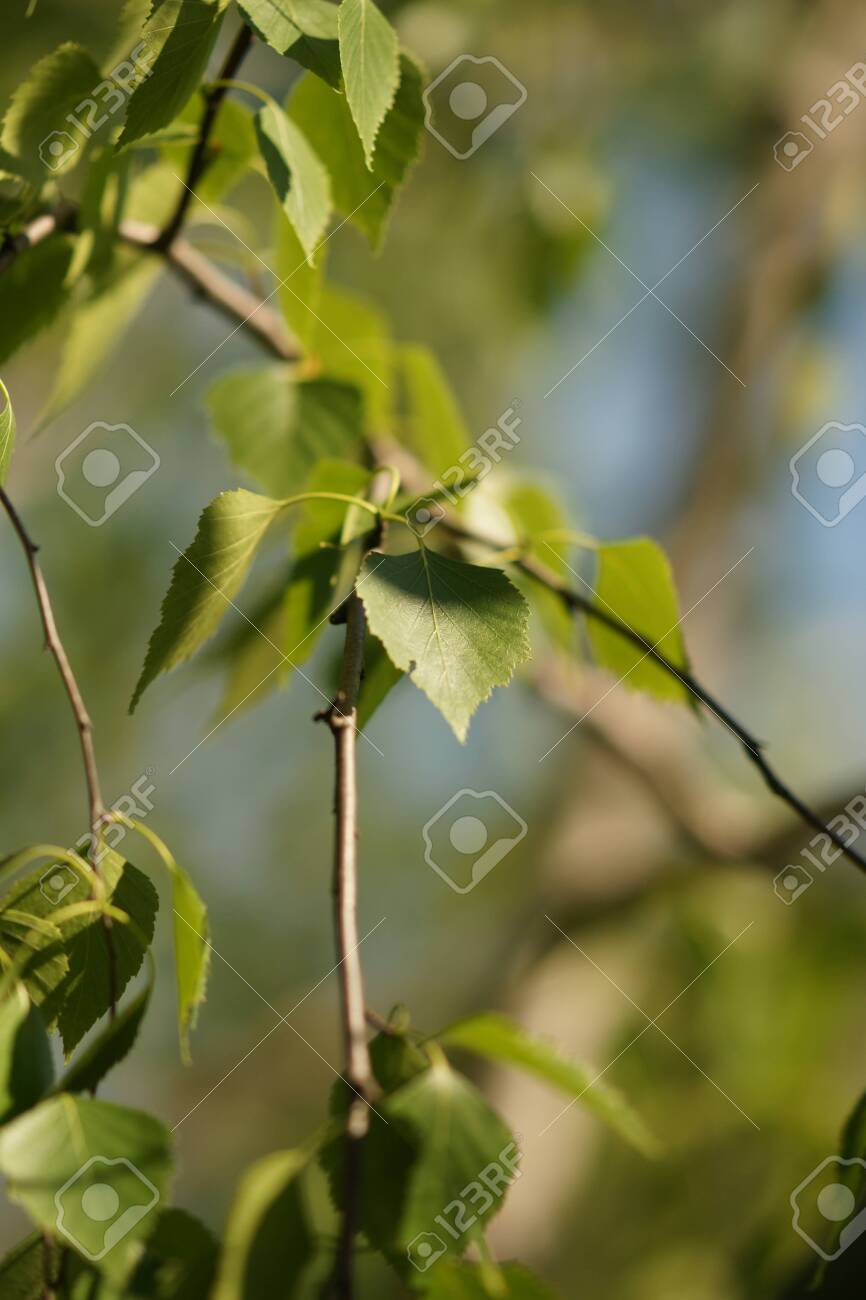 Young birch tree leaves on the branches closeup. - 146410051