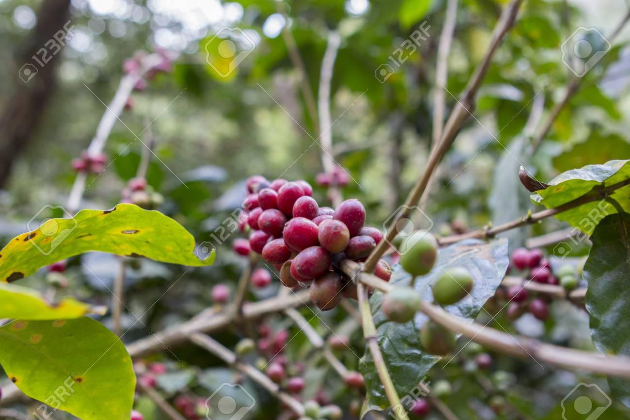 Coffee beans , cherries Stock Photo - 25487009