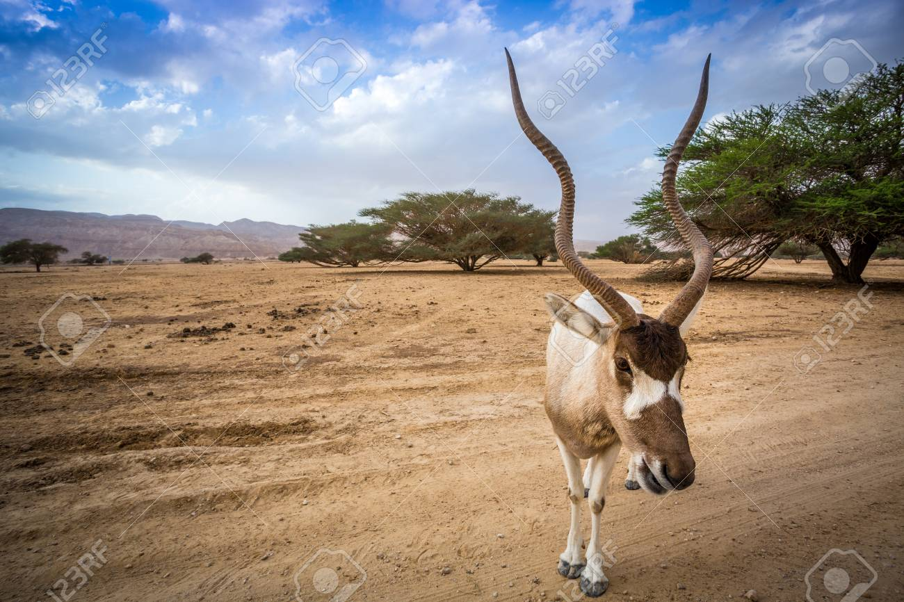https://previews.123rf.com/images/sopotniccy/sopotniccy1602/sopotniccy160200161/53245297-big-addax-on-negev-desert-israel-middle-east.jpg