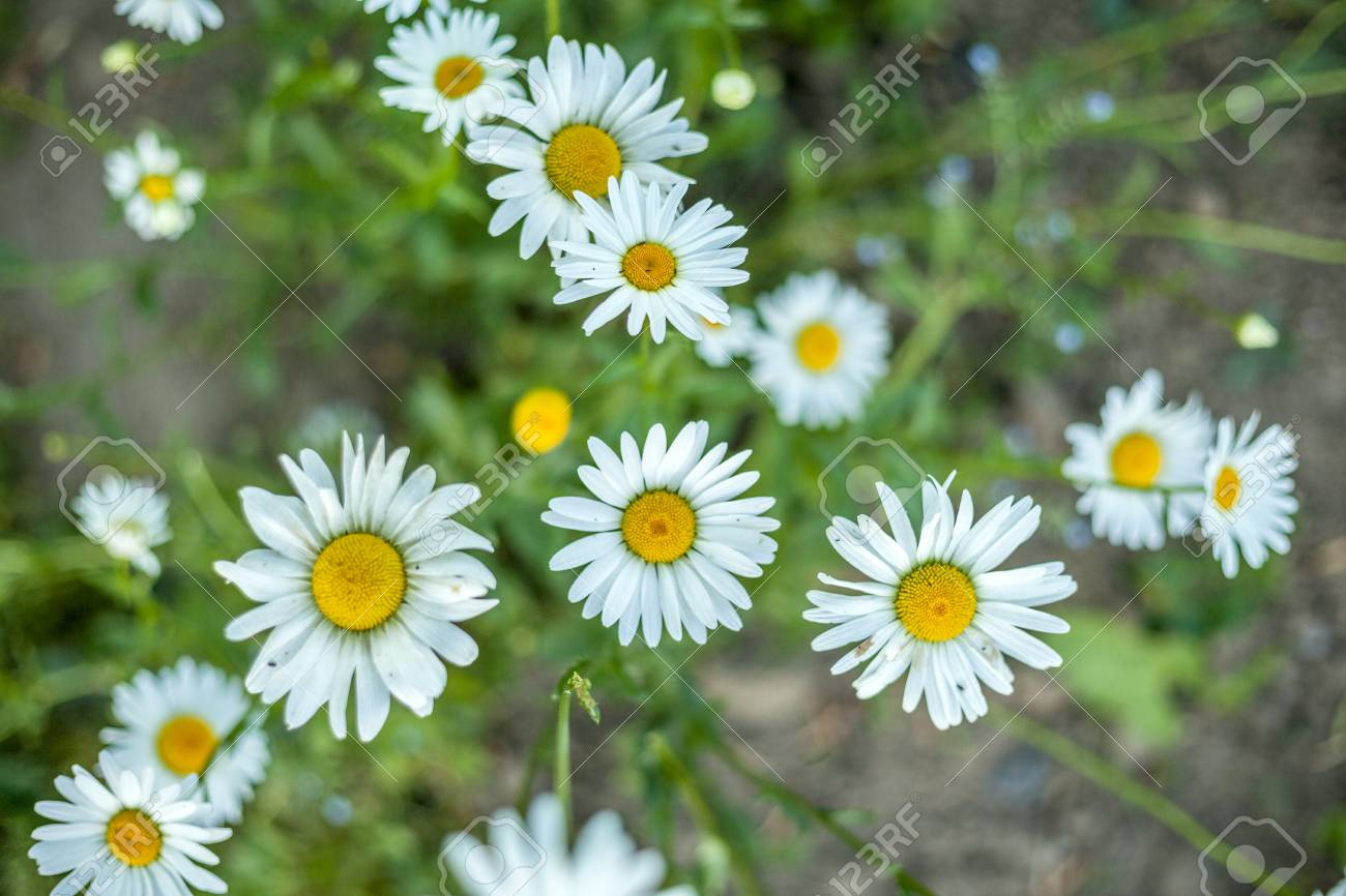 Plenty of beautiful daisy flowers in the garden stock photo picture plenty of beautiful daisy flowers in the garden stock photo 96865925 izmirmasajfo Image collections