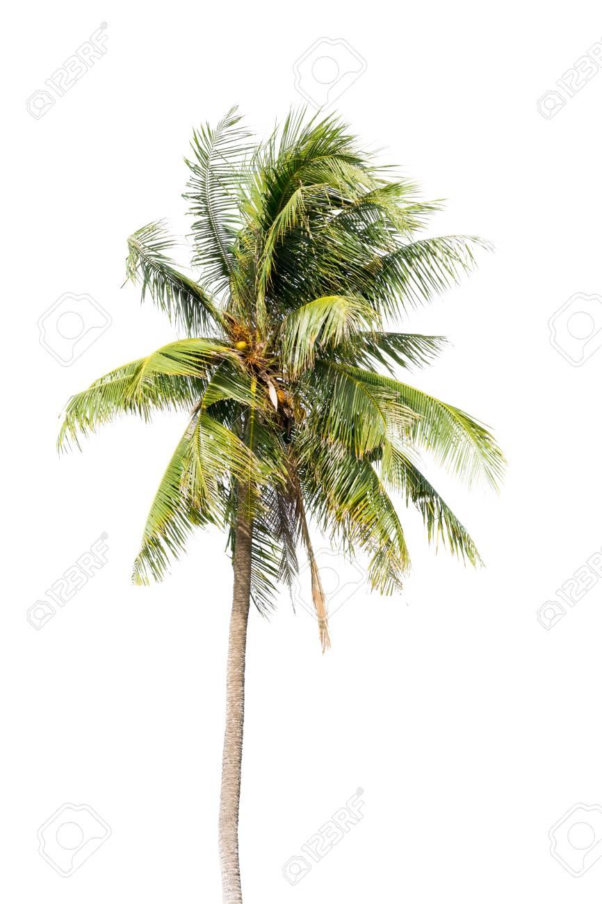 Kokos-Palme, Blätter Coco Grün Auf Weißem Hintergrund Isoliert Auf ...