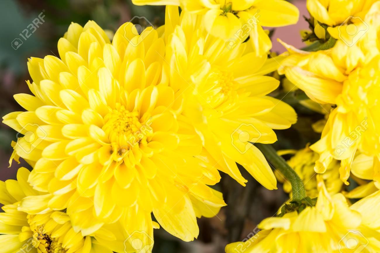 Fiori Gialli Giardino.Immagini Stock Fiori Gialli Bouquet In Giardino Image 47780622