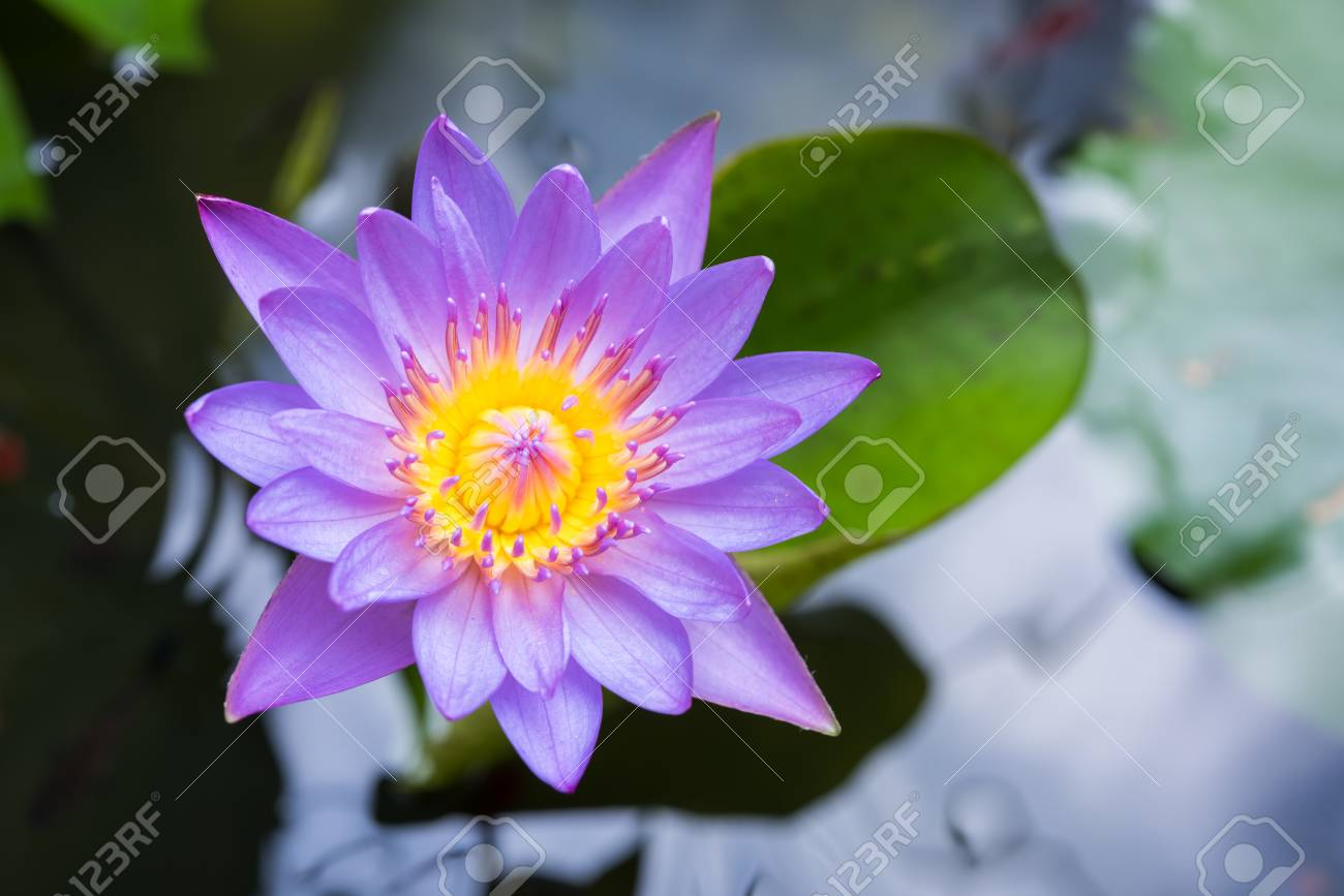 Image of water lily or a lotus flower on the nature water stock image of water lily or a lotus flower on the nature water stock photo 55833115 izmirmasajfo