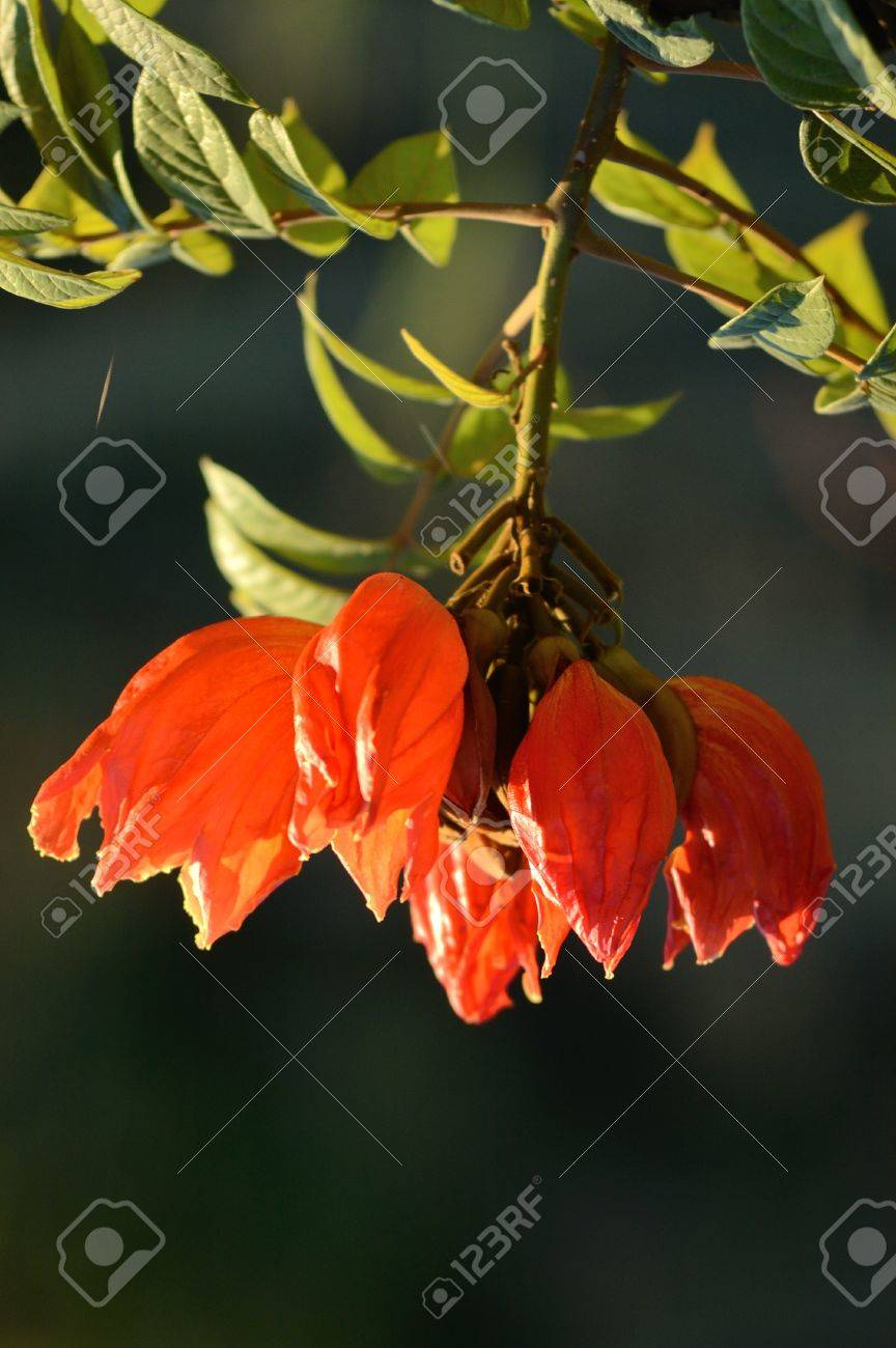 Raat Ki Rani Flower Name In English C Nocturnum Buds Rath Ki Rani