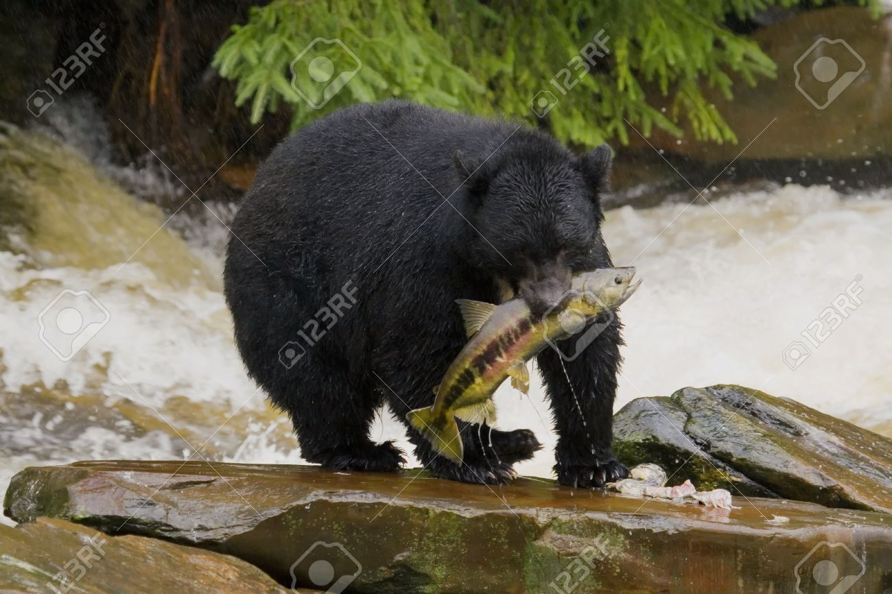 The American black bear (Ursus americanus) is North America's smallest and most common species of bear. Stock Photo - 9640725