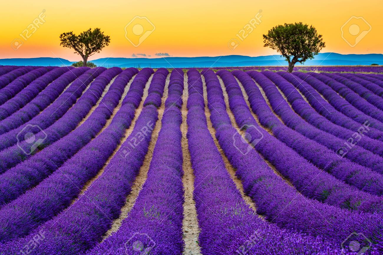 Provence, France. Lavender fields at sunset on the Plateau of Valensole. - 142190062