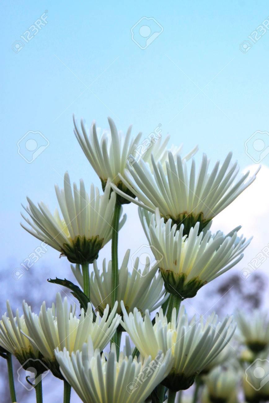 A white flowerchrysanthemum with blue sky background stock photo a white flowerchrysanthemum with blue sky background stock photo 27582854 mightylinksfo