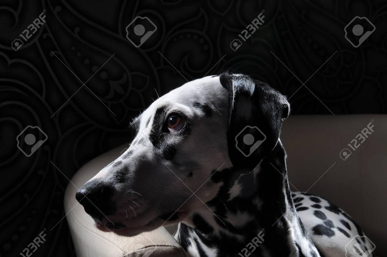 Cane dalmata su una sedia bianca in un interno grigio acciaio