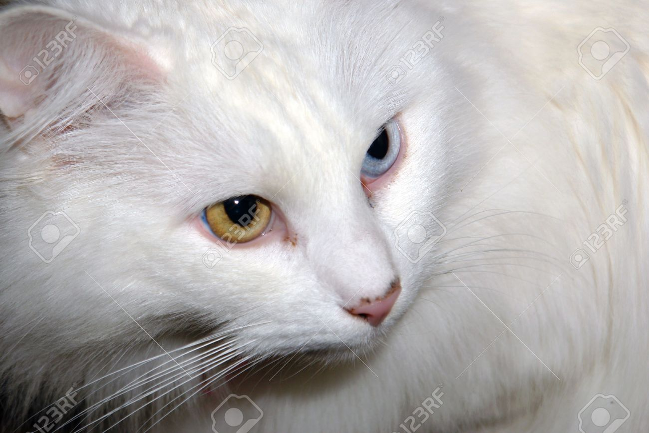 5be7b26b57 close up of white cat with two different colored eyes Stock Photo - 752105