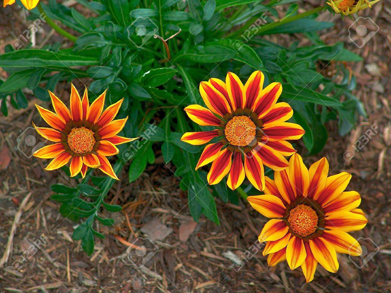 Three Firey Red And Yellow Flowers Shot From Above, Very Colorful ...
