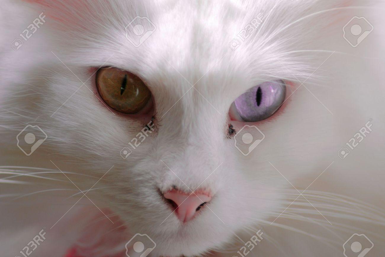 c11e7df61a Close Up Of Curious White Turkish Angora Cat