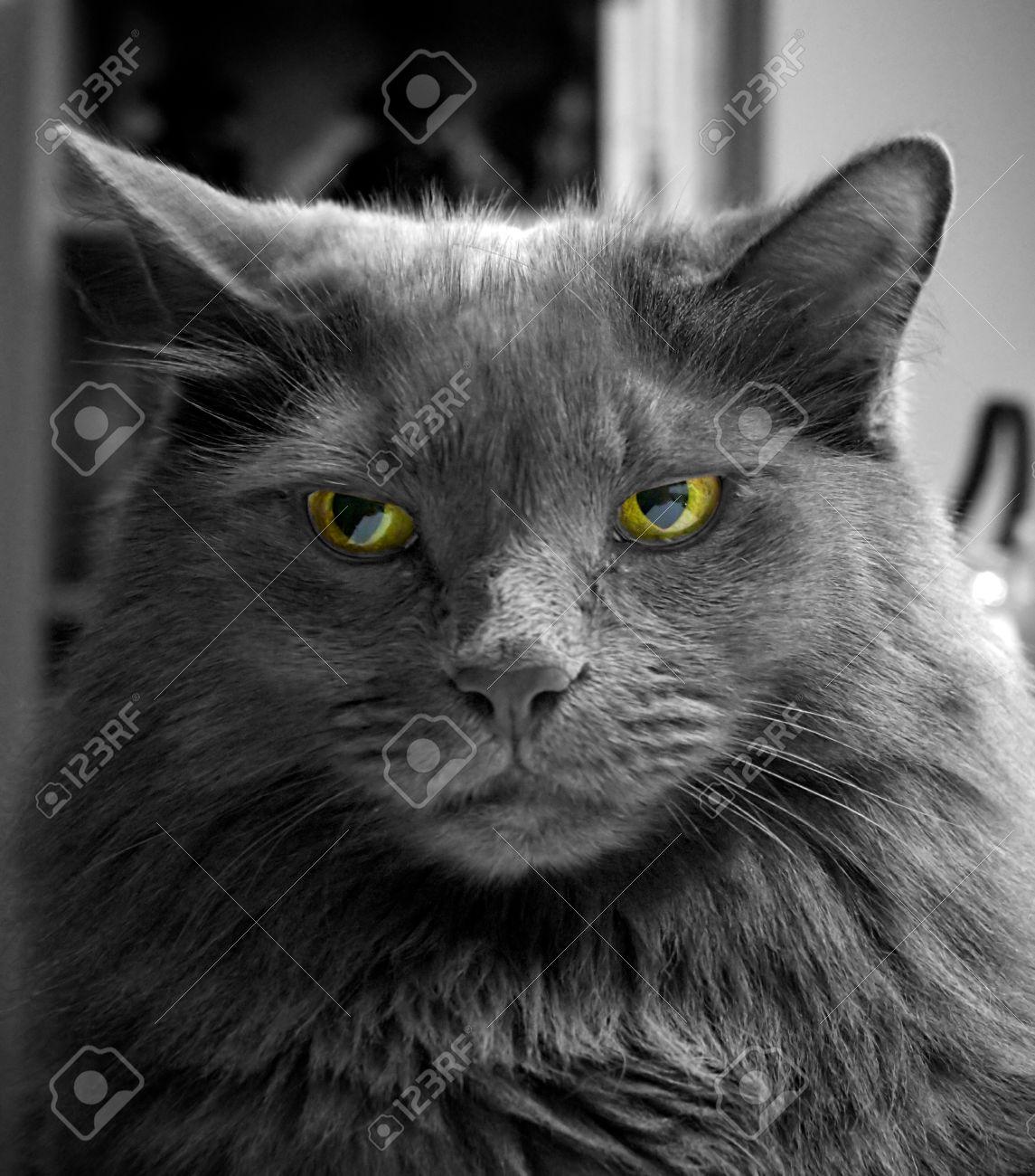 Immagini Stock Da Vicino Il Ritratto Di Un Gatto Nero A Pelo Lungo