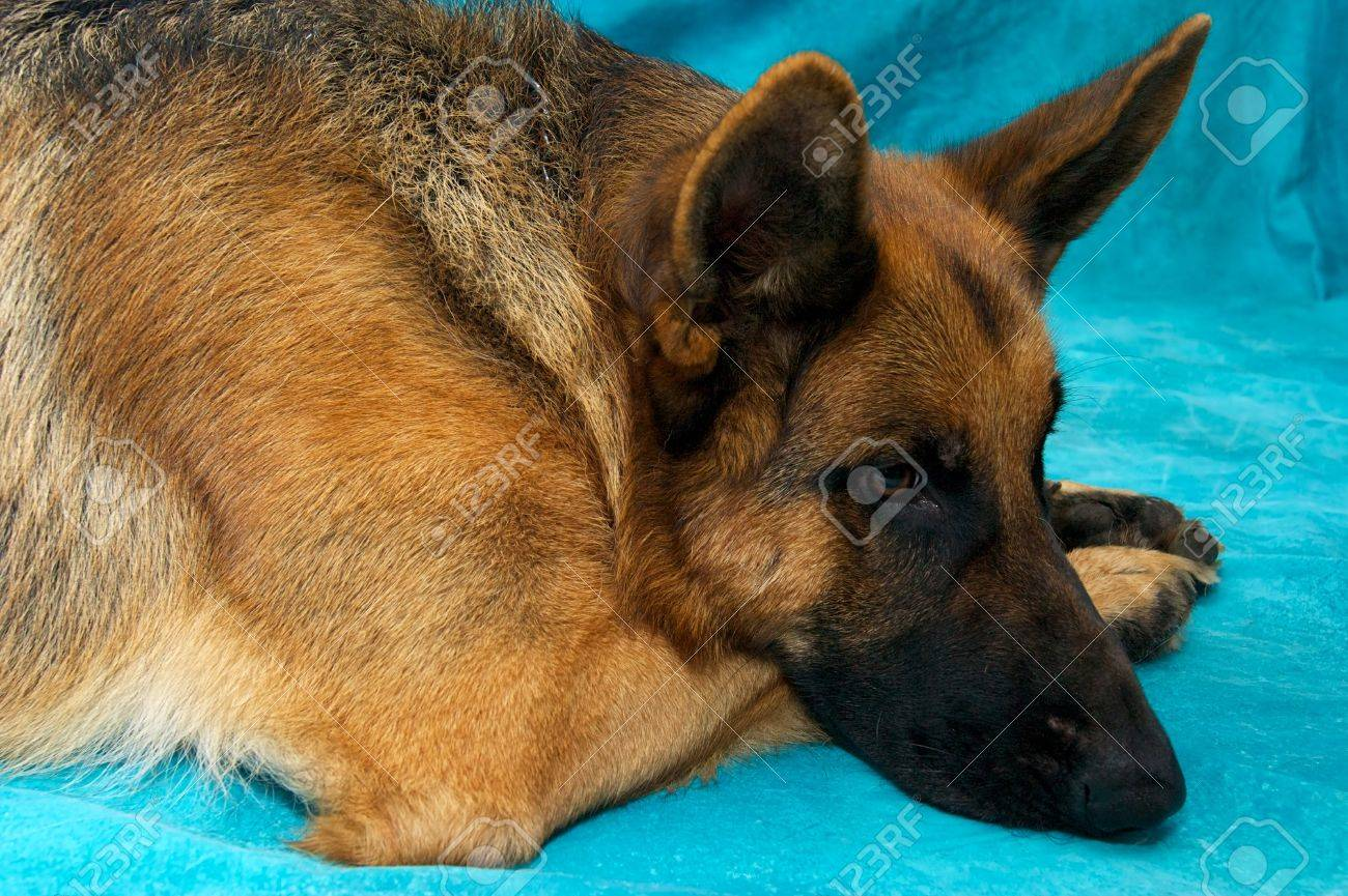A young german shepherd dog in studio against blue backdrop, laying down with head resting on paws.. Stock Photo - 11818508