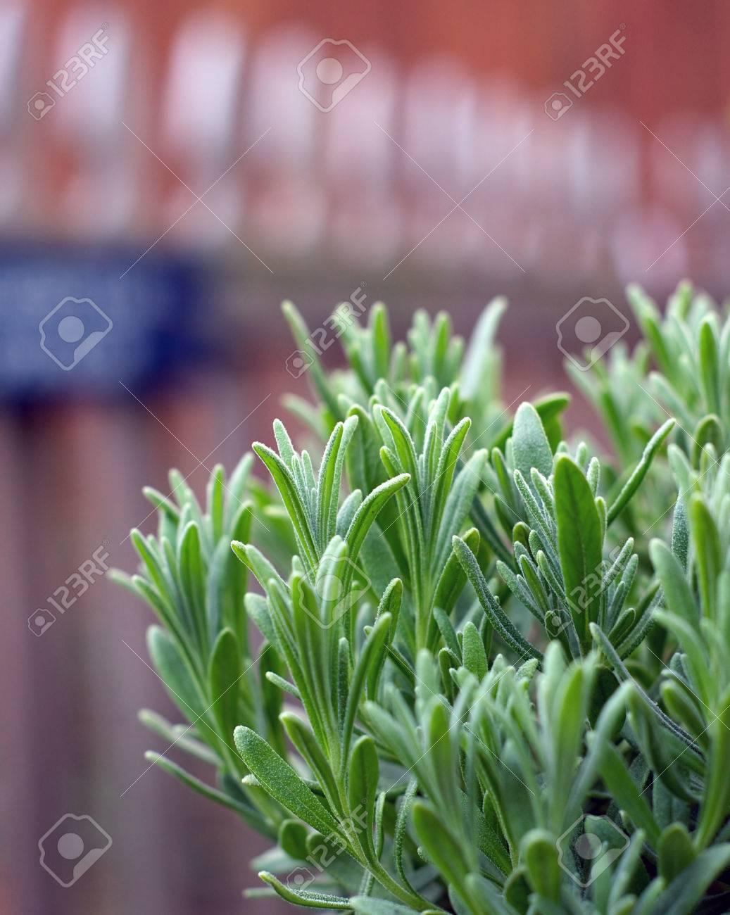 Una Planta De Lavanda Joven Que Crece En El Jardín Con La Valla De ...