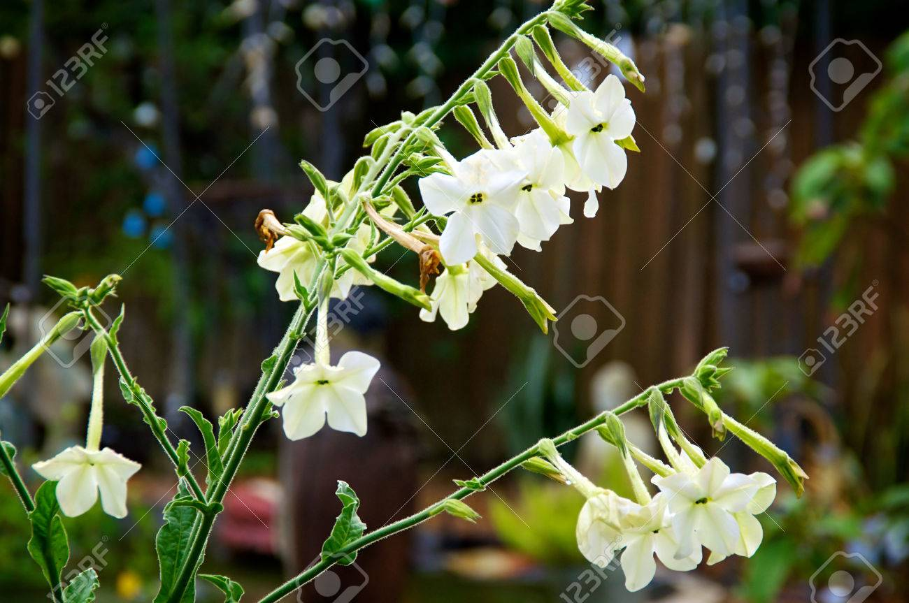 Nicotiana alata flowers also known as night blooming jasmine stock nicotiana alata flowers also known as night blooming jasmine tobacco in morning after rain izmirmasajfo Image collections