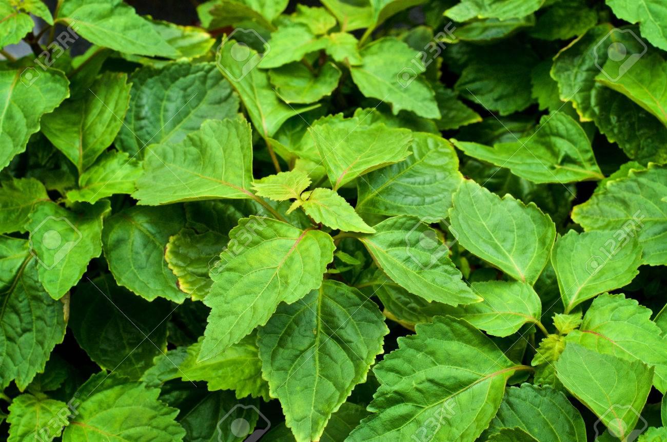 Nahaufnahme Von Einer Grossen Patchouli Pflanze Von Oben Mit