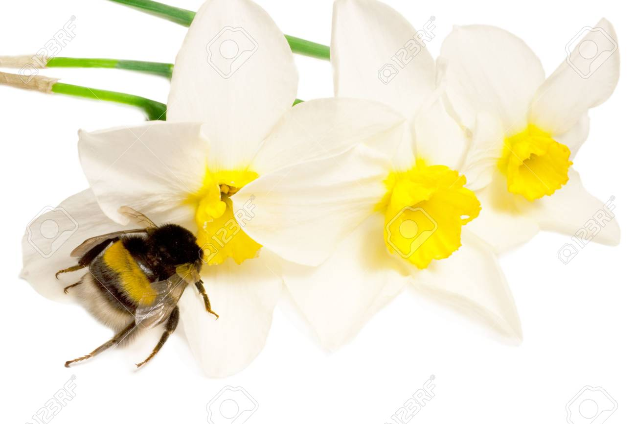 An insect is a bumble-bee. Bumble-bee on white flowers narcissus Stock Photo - 4781029
