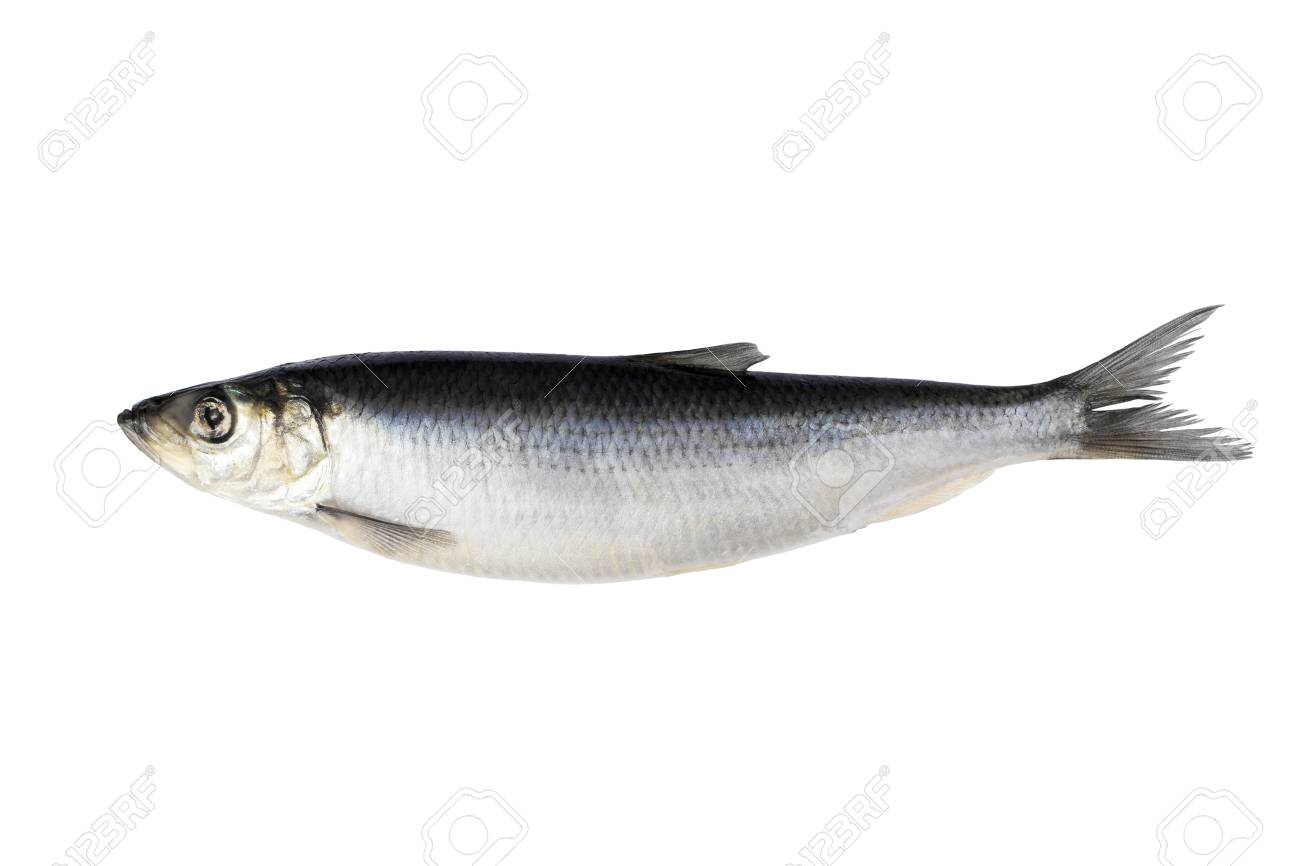 Herring Isolated On White Background Fresh Herring Fish