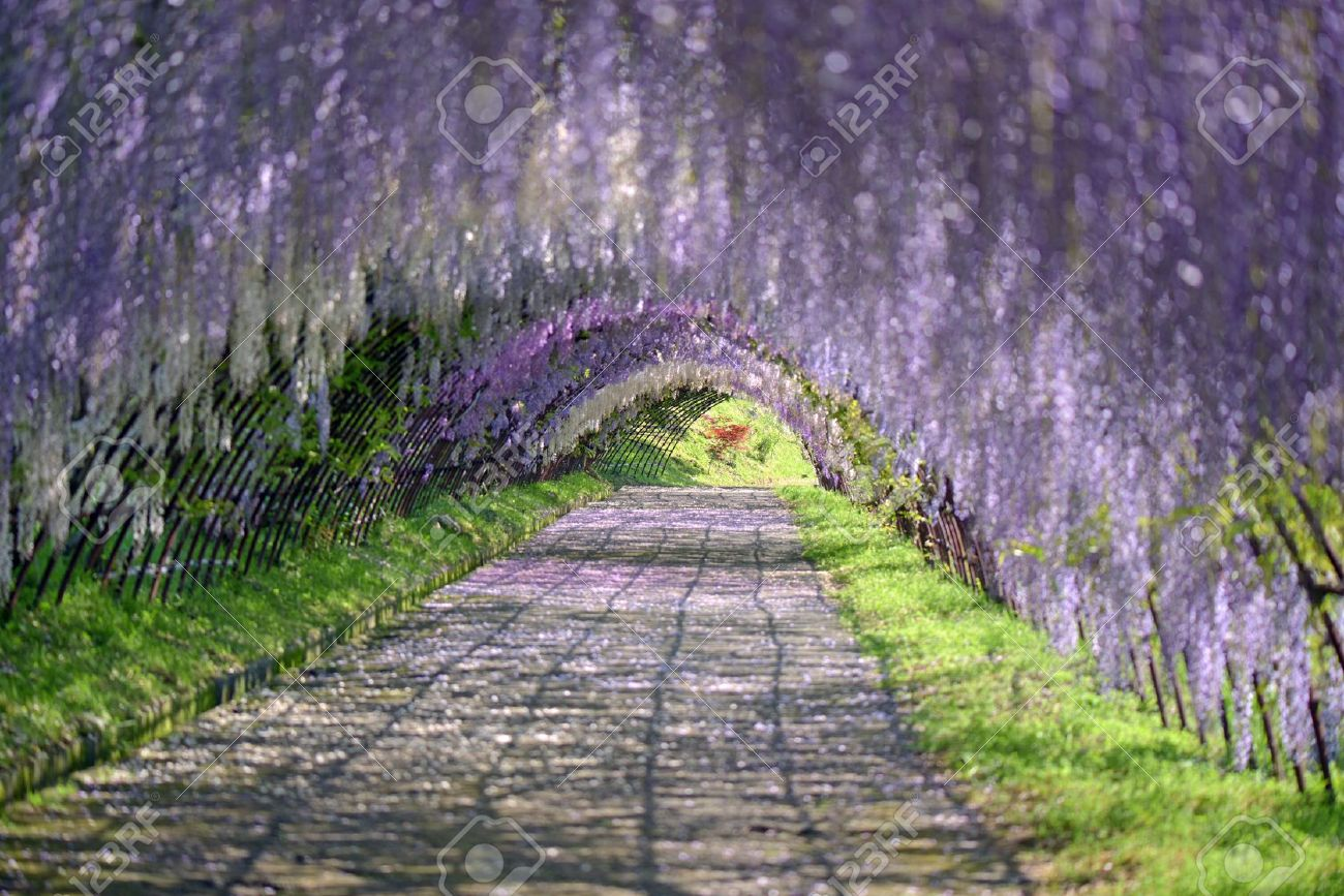 wisteria tunnel stock photos u0026 pictures royalty free wisteria