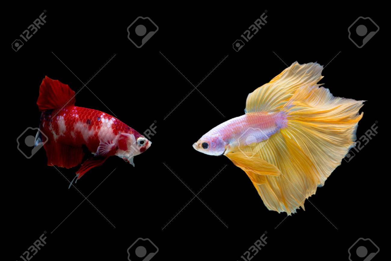 Two Betta Fish Yellow Fighting Fish And Red Dot Koi Betta
