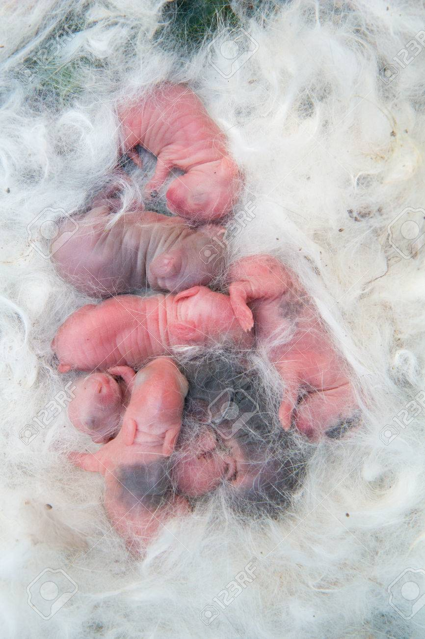 new born rabbit, hairy pet in rabbit's mom hair after gave birth