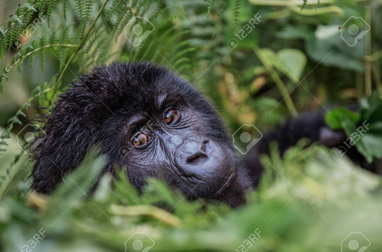 close up portrait of a black gorilla looking at you in the wild deep in the jungle - 136103282