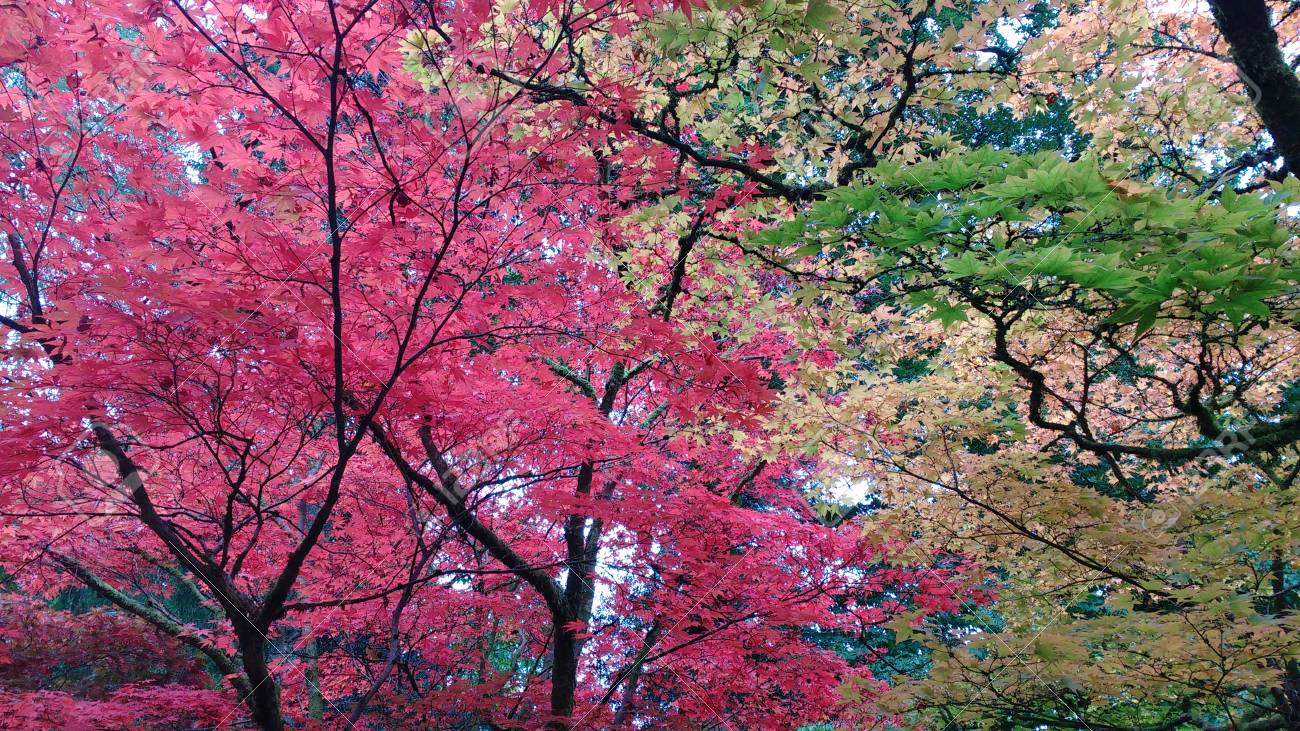 Acers Japanese Maple Trees In An Autumn Garden Beautiful Bright