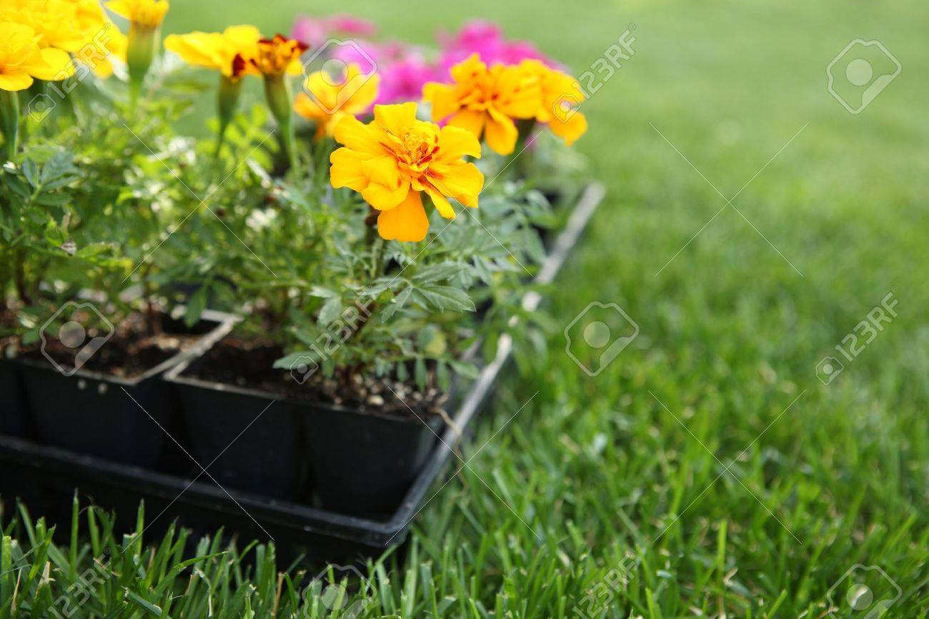A close up of a flat of spring flowers ready for planting stock a close up of a flat of spring flowers ready for planting stock photo mightylinksfo