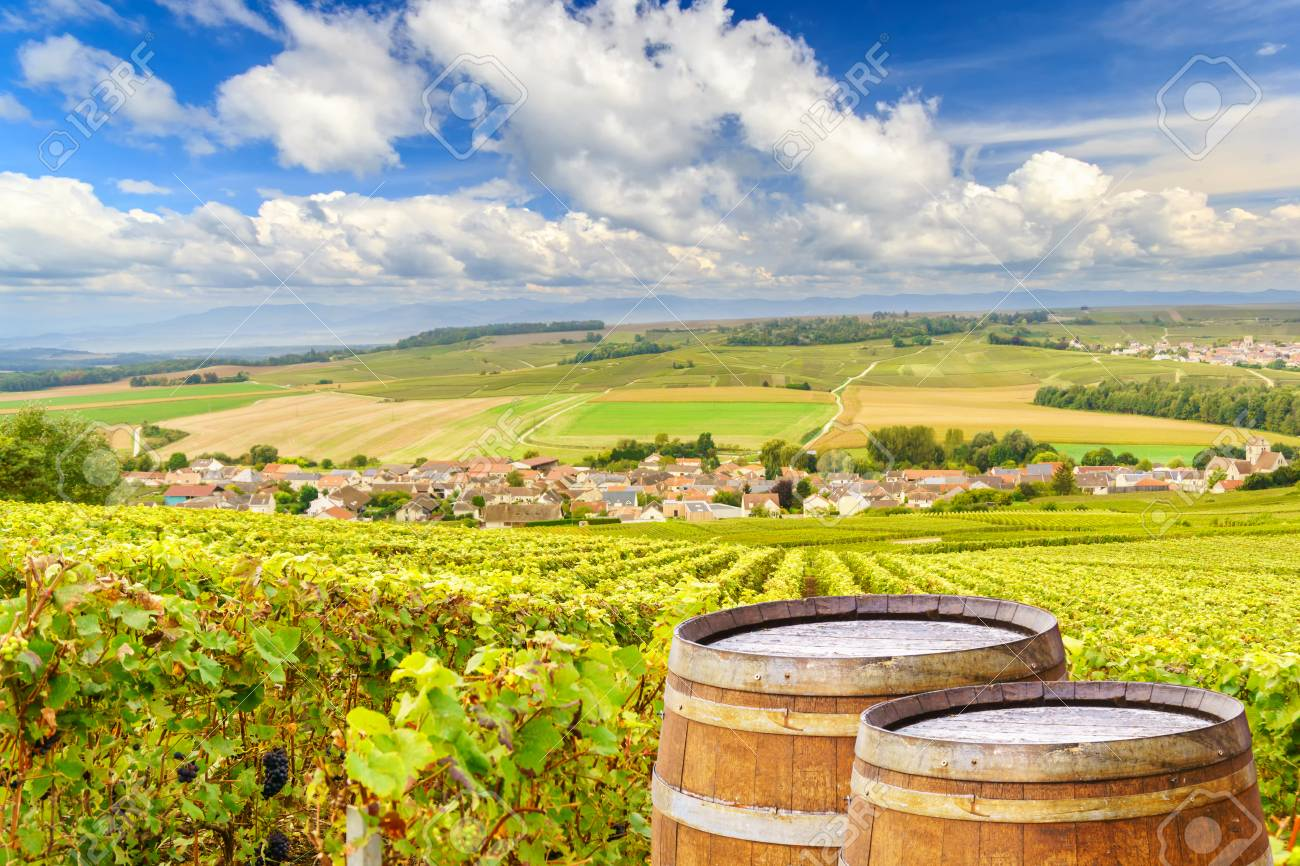 Champagne vineyards with old wooden barrel on row vine green grape in champagne vineyards background at montagne de reims, France - 88470705