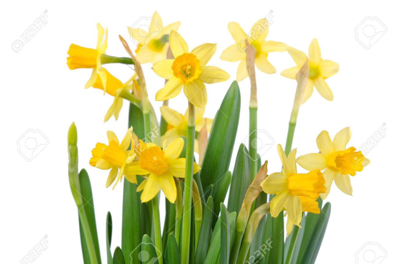 Yellow flowers on white background close up daffodil flower stock stock photo yellow flowers on white background close up daffodil flower or narcissus bouquet over white background mightylinksfo
