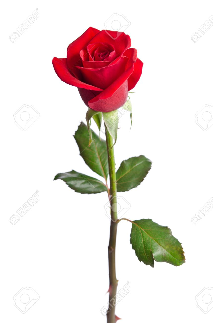 Single Red Rose Stock Photos Royalty Free Single Red Rose Images