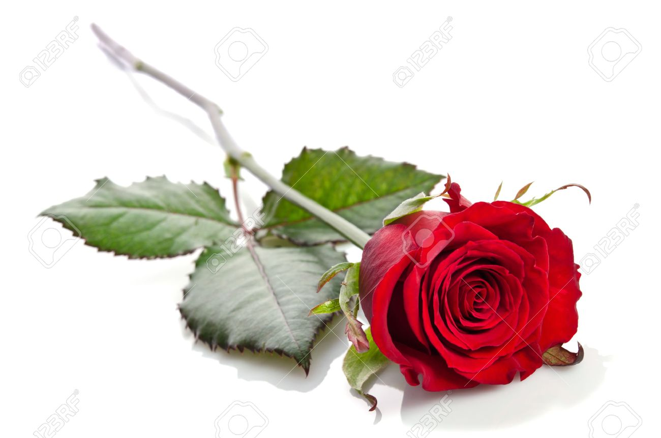 Beautiful Single Red Rose Lying Down On A White Background Stock Photo