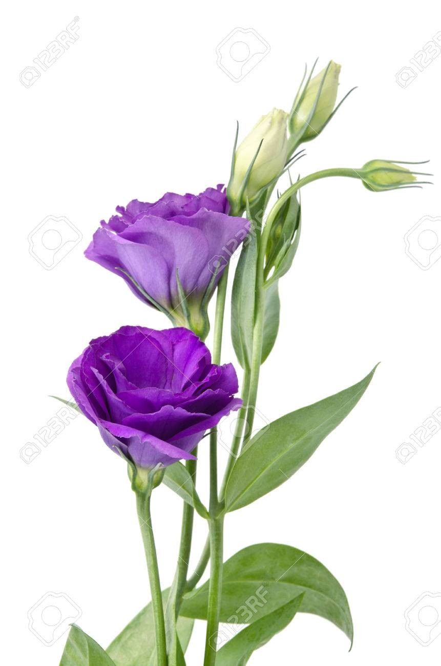 Light purple flowers isolated on white eustoma stock photo picture light purple flowers isolated on white eustoma stock photo 47408443 mightylinksfo