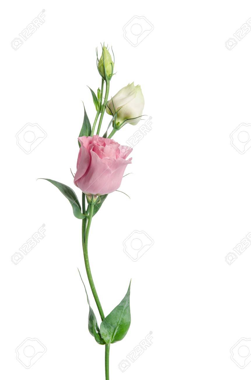 Two Pale Pink Flowers Isolated On White Eustoma Stock Photo