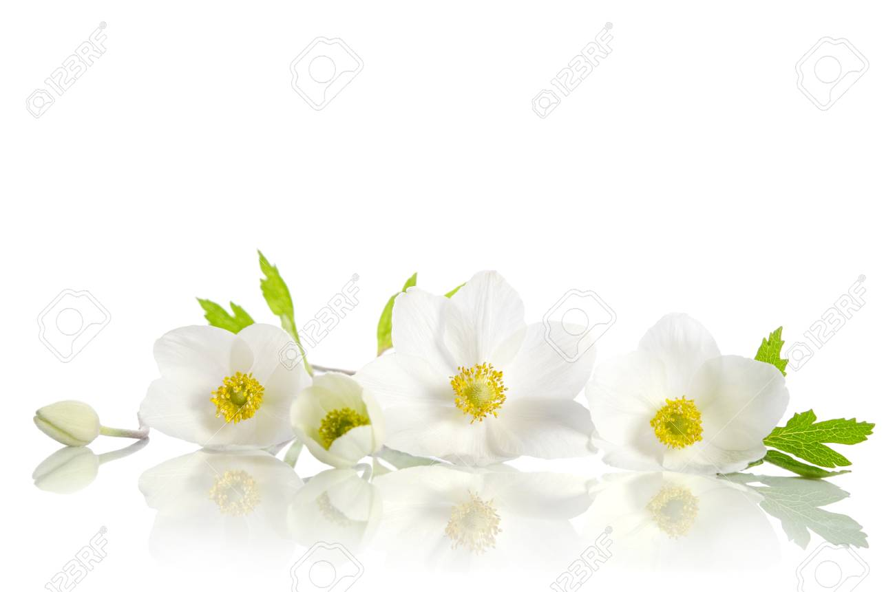 White anemone flowers on a white background stock photo picture and stock photo white anemone flowers on a white background mightylinksfo