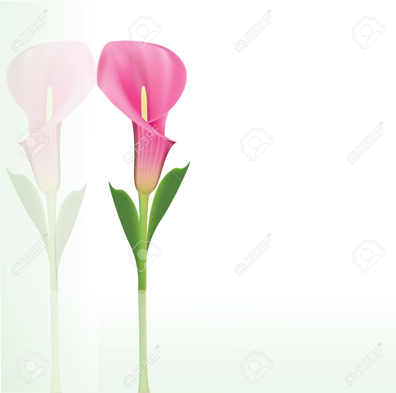 beautiful pink calla lily stock vector 13624308