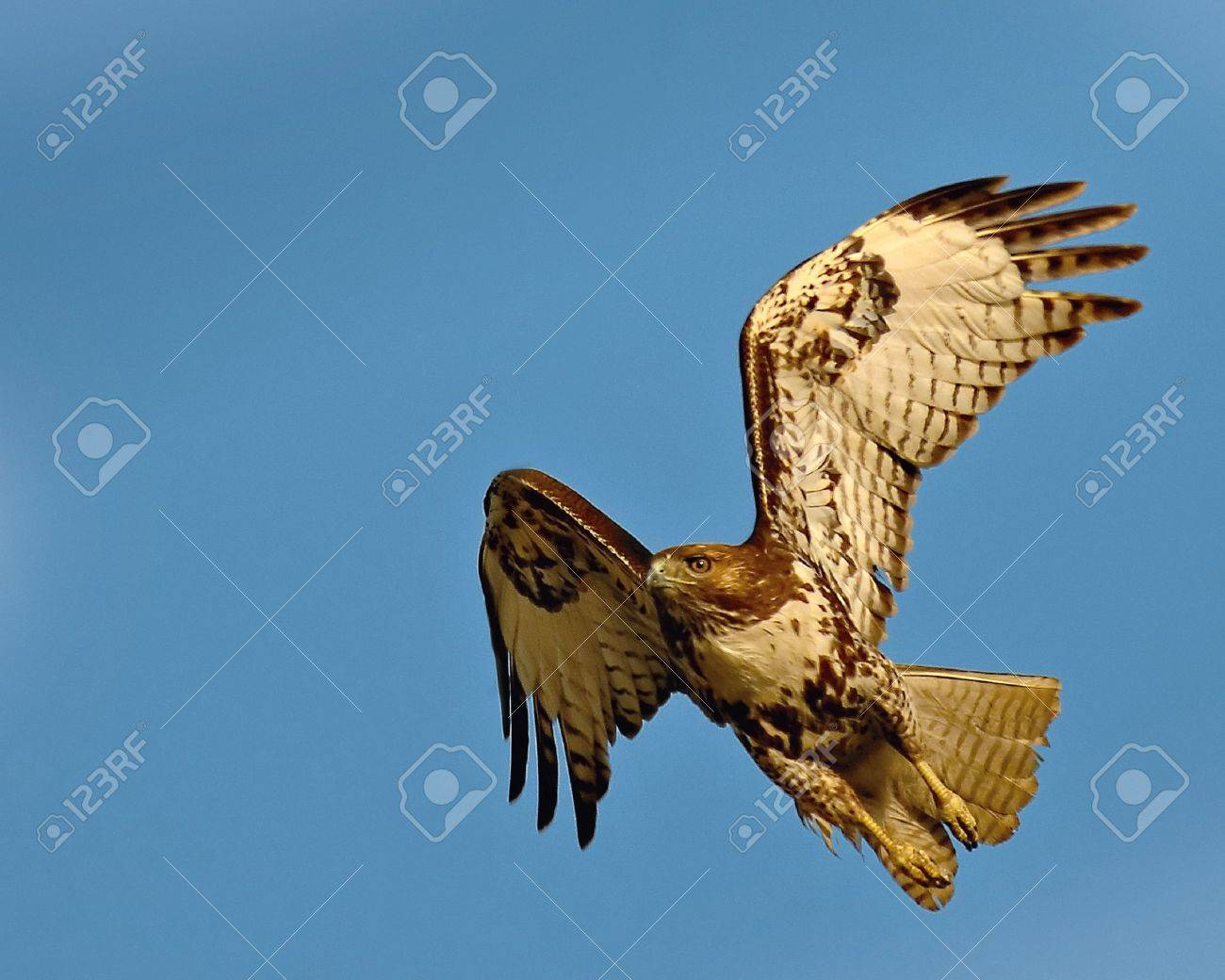 A Red Tail Hawk just taking off. Stock Photo - 4065846