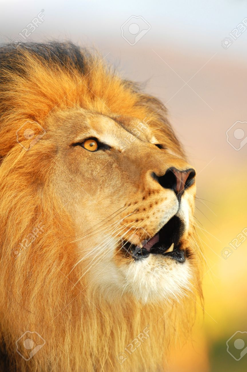 A male African lion roars as the sun sets. Stock Photo - 4161740