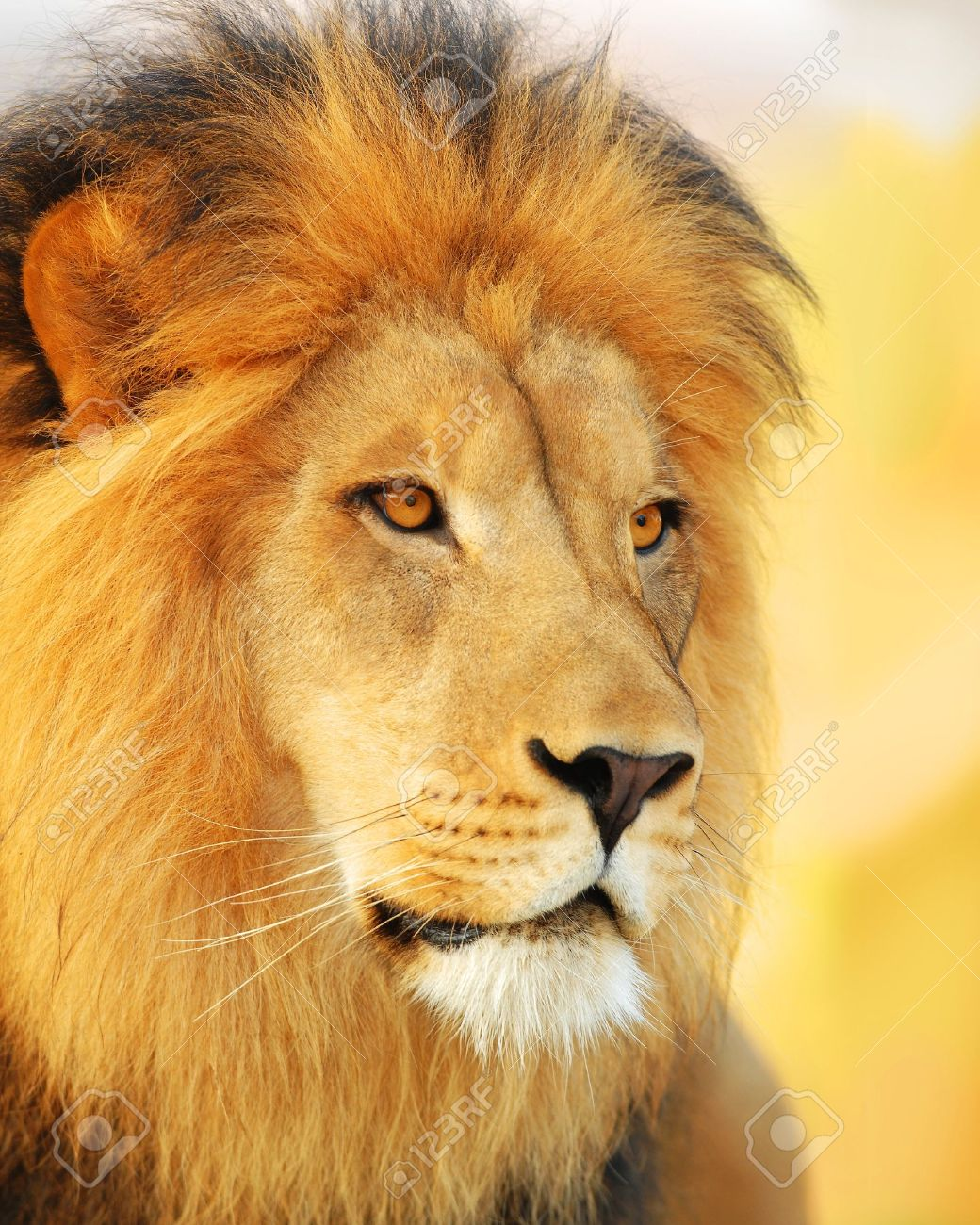 A male African lion at sunset. Stock Photo - 4161736