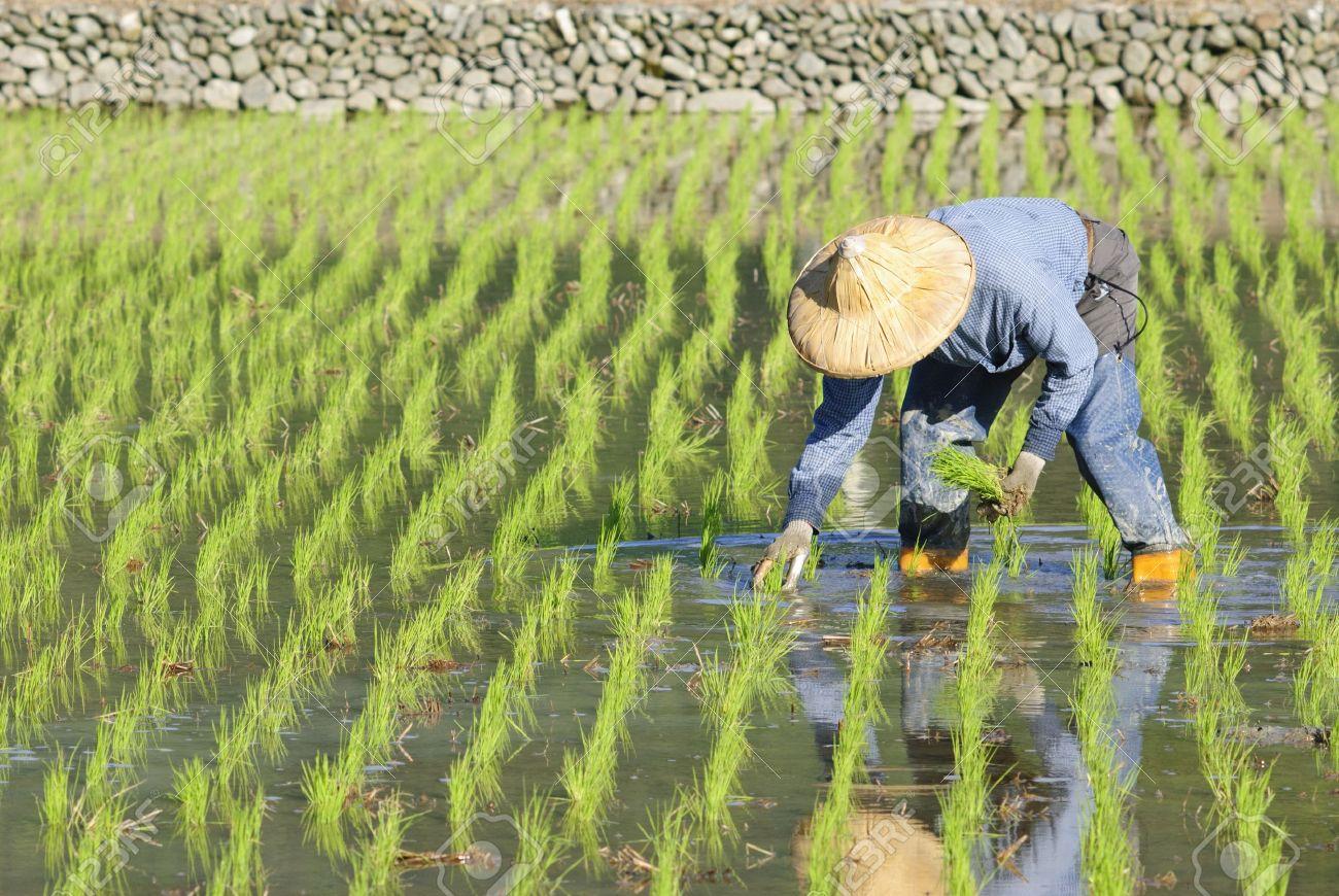 Agricultor Siembra De Arroz Con Cáscara En Asia. Fotos, Retratos ...