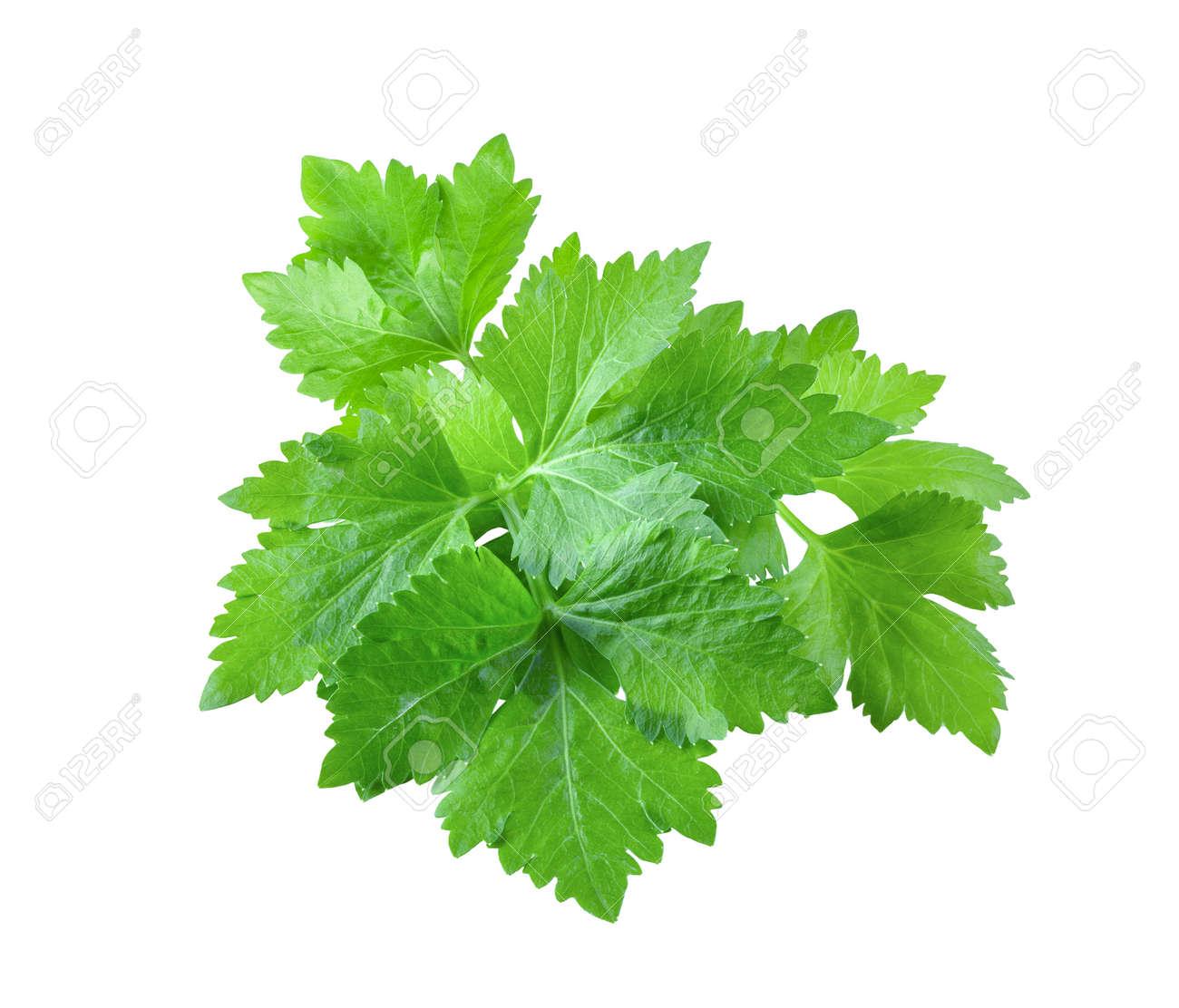 Celery leaf isolated on white background - 156628274
