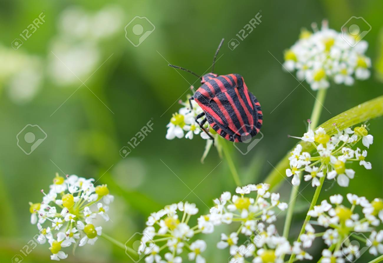 Graphosoma lineatum, grafozoma striped on white flowering inflorescences, Graphosoma lineatum Stock Photo - 21994763